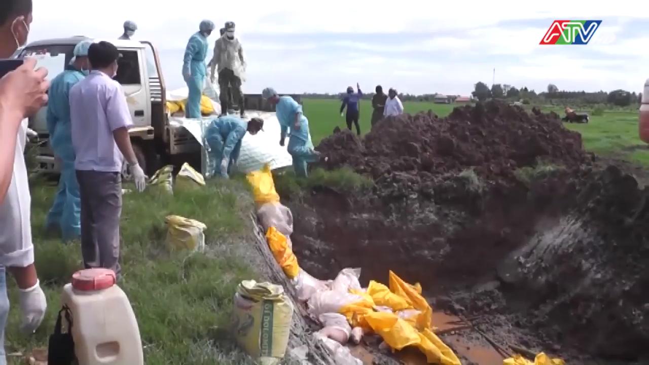 Kiểm tra công tác phòng, chống bệnh Dịch tả heo Châu Phi tại huyện An Phú - Nguồn : ATV